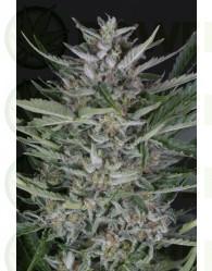 Gorilla Autoflowering (Dinafem Seeds)