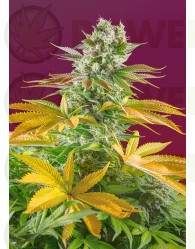 Gorilla Girl F1 Fast Version (Sweet Seeds) Feminizada