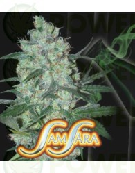 Green Love Potion (Samsara Seeds) Semilla Cannabis Feminizada