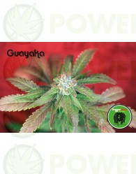 Guayaka (Reggae Seeds) SEmilla Regular de Cannabi