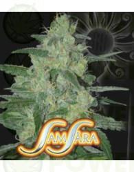 Holy Grail 69 (Samsara Seeds) Feminizada