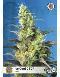 Ice Cool CBD (Sweet Seeds)