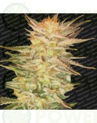 Ice Cream (Paradise Seeds) Feminizada