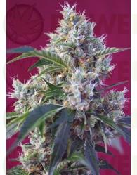 Indigo Berry Kush (Sweet Seeds) Feminizada