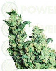Jack Herer (Regular) Sensi Seeds