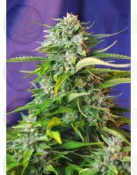 Jack 47 Auto Feminizada (Sweet Seeds)