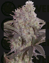 Jack Widow Feminizada (SeedMakers)