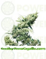 Jamaican Pearl Feminizada (Sensi Seeds)