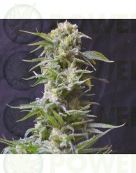 JAWBREAKER 47 (GREENBUD SEEDS)