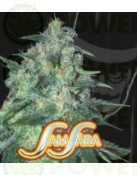 Jekyll Passion (Samsara Seeds) Feminizada