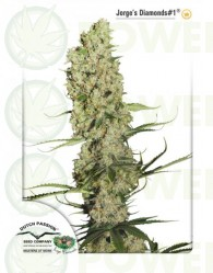 Jorge's Diamond #1 (Dutch Passion Seeds) Feminizada