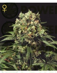 Kalashnikova Auto (Green House Seeds) Semillas de Cannabis Autoflorecientes