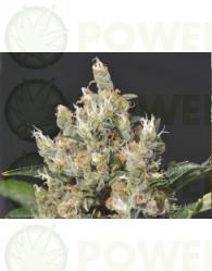 Kali Feminizada (CBD Seeds)