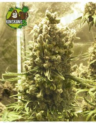King Kong Five (Mano Verde Seeds)