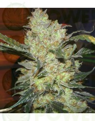 King's Kush Feminizada (Greeen House Seeds)