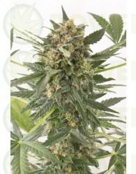 Kush-N-Cheese Autoflowering (Dinafem)