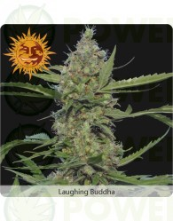 Laughing Buddha Feminizada (Barney´s Farm Seeds)