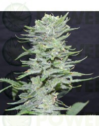 LEMON PIE (GREENBUD SEEDS)