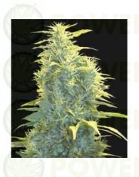 Lennon (Pyramid Seeds) Feminizada