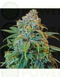 Liberty Haze Feminizada (Barney´s Farm Seeds)