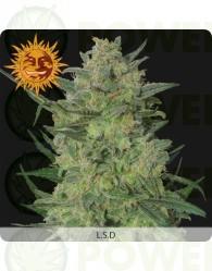 LSD Feminizada (Barney´s Farm Seeds)