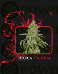 Lujuria Critical (7 Pekados Seeds)