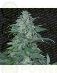 Magic Bud (Paradise Seeds) Feminizada