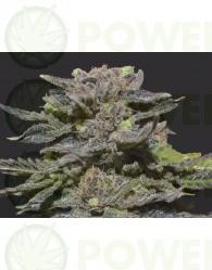 Magma de CBD Seeds Semilla feminizada de Cannabis