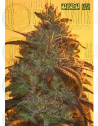 Mandarina Kush Feminizada (Mano Verde Seeds)