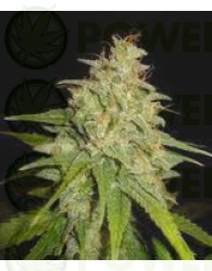 Mazar x White Rhino (World of Seeds) Medical Collection