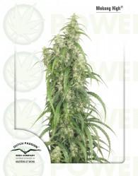 Mekong High (Dutch Passion Seeds)