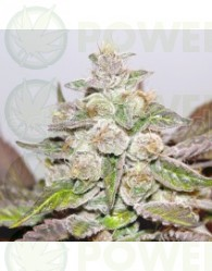 Mendocino Purple Kush Feminizada (Medical Seeds)