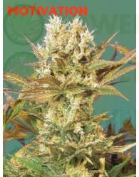 Motavation (Serious Seeds) Feminizada