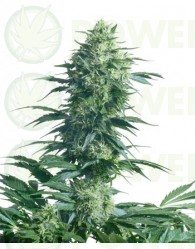 Mother's Finest (Sensi Seeds) Regular