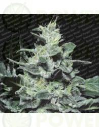Nebula (Paradise Seeds) Feminizada