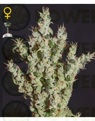 NL5 Haze Mist (Green House Seeds)