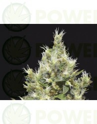 Northern Feminizada (CBD Seeds)