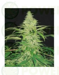 Northern Lights Feminizada (Pyramid Seeds)