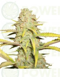 O.G. Kush (Royal Queen Seeds)