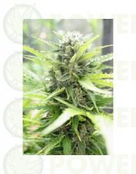 Pandora Auto (Paradise Seeds)  Las mejores semillas de Marihuana de Paradise Seeds al mejor precio en nuestros GrowShop Doctor Cogollo - PowerCogollo.com  Semilla Autofloreciente feminizada Pandora Auto (Paradise Seeds) Cannabis rápida floración.  Una pla