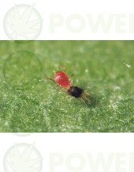 Phytoseiulus Persimilis (Contra Araña Roja) Lucha Biológica