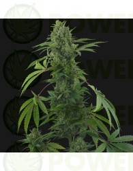 Pineapple Express Auto (Barney´s Farm Seeds)