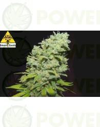 Psicotropic Feminizada (Biohazard Seeds)