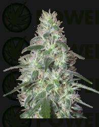 Pulsar Feminizada (Buddha Seeds)