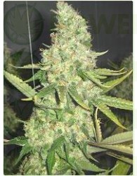 Pure Power Plant (Profesional Seeds) Feminizada