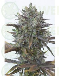 Purple Orange CBD (Dinafem Seeds)