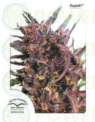 Purple #1 Regular (Dutch Passion)