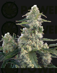 Quasar Feminizada (Buddha Seeds)