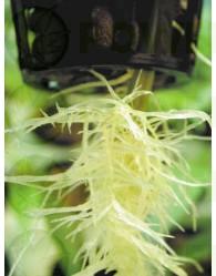 Phytophora (Podredumbre de Raices)