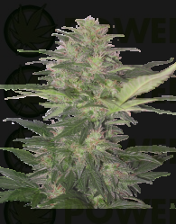 Red Dwarf (Buddha Seeds)